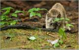 Lynx Kitten  (captive)