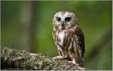 Saw-Whet Owl    (captive)