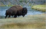 Buffalo leaving the Creek