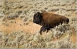 Buffalo on the Run!