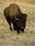Buffalo in Yellowstone, head on!