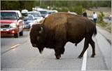 Buffalo makes a Road Crossing