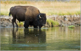 Buffalo Crossing Water