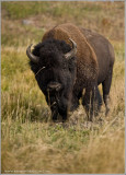 Buffalo in a Stare