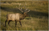 Elk at Yellowstone