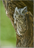 Screech owl   (captive)