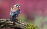 Kestrel Falcon   (captive)
