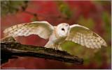 Barn Owl Landing  (captive)