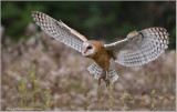 Barn Owl in Flight   (captive)