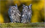 Screech Owls  (captive)