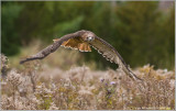Red-tailed Hawk in Flight    (captive)