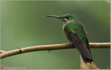 Female Green-crowned Brilliant.