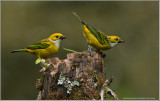 Silver Throated Tanagers