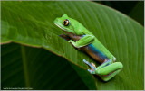 Yellow Eyed Tree Frog