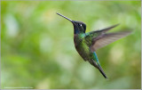 Magnificent Hummingbird (male) in Flight