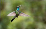Magnificent Hummingbird male in Flight