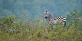 Zebra pano