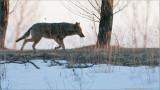 Coyote (re-edit)