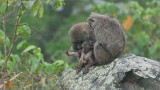 Baboon Family in the Mist