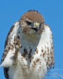Red-tailed Hawk 7
