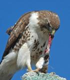 Red-tailed Hawk 10