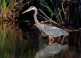 Great Blue Heron 5