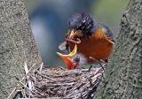 American Robin with youngsters 4