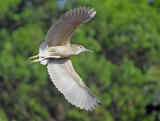 Black-crowned Night Heron in Flight 3