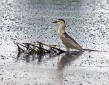 Black-crowned Night Heron 6