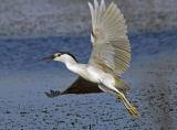 Black-crowned Night Heron 11