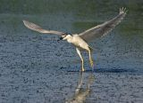Black-crowned Night Heron 14