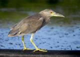 Black-crowned Night Heron 19