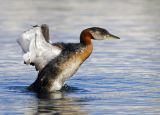 Red-necked Grebe 4