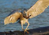 Black-crowned Night Heron Feeding 22