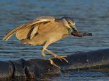 Black-crowned Night Heron Feeding 24