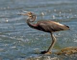 TriColoured Heron 9