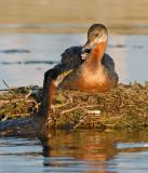 Red-necked Grebes 6