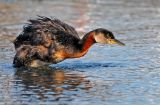 Red-necked Grebe 24