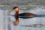 Red-necked Grebe 25