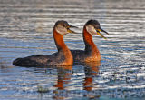 Red-necked Grebes 27