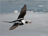 Male Long-tailed Duck 38