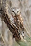 Northern Saw-whet Owl 5