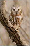 Northern Saw-whet Owl 6