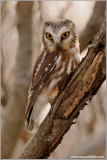 Northern Saw-whet Owl 7