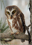 Northern Saw-whet Owl 12