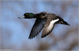 Greater Scaup 6