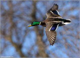 Mallard in flight 44