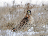 Red-tailed Hawk 151