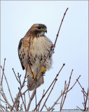 Red-tailed Hawk 152