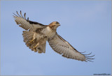 Red-tailed Hawk in Flight 153